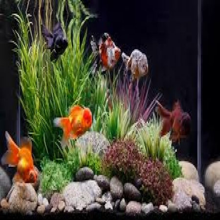 风水玄学大师白鹤鸣教你家中或公司养多少条金鱼才能旺财旺风水
